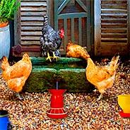 Игра Побег с птичьей фермы